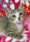 American Shorthair Cat: FOXTROT