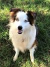 Australian Shepherd Dog: Cutter