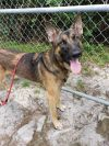 German Shepherd Dog Dog: Gus
