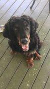 Scottish Deerhound Dog: Scott