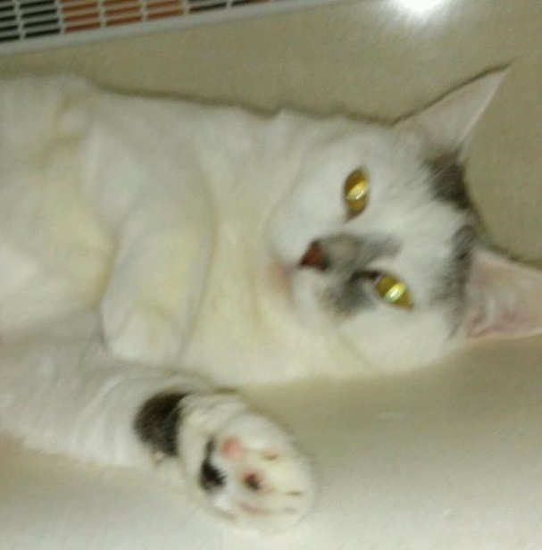 Aggy ADOPTED:), an adopted Domestic Short Hair in Waverly, IA