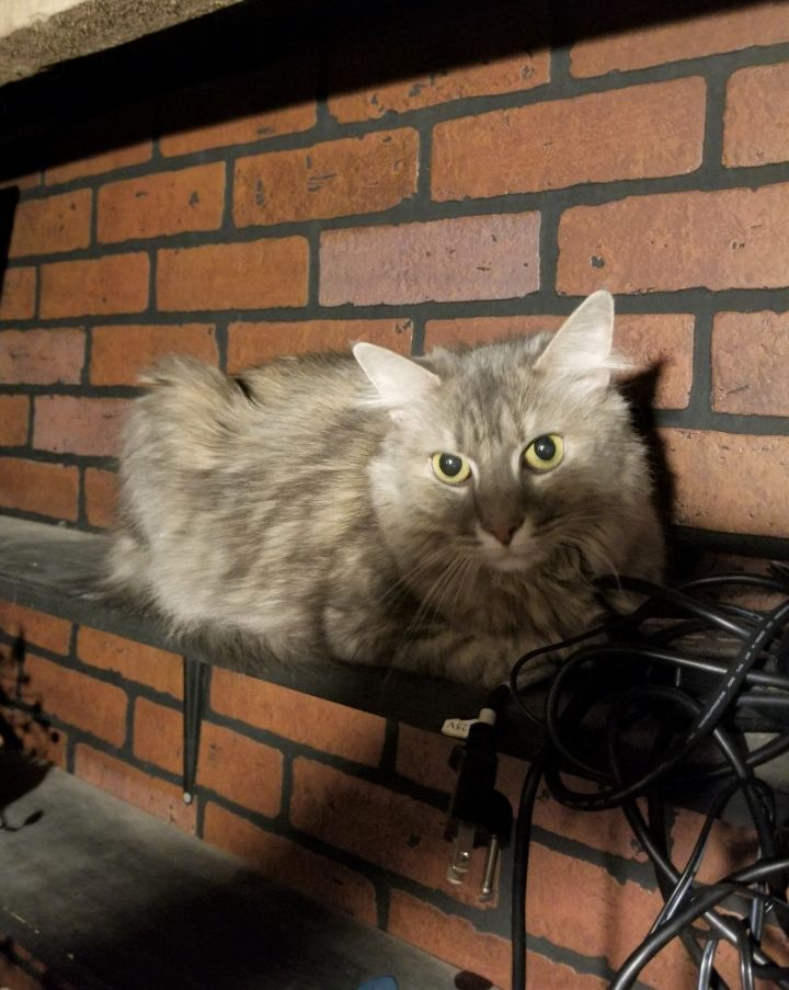 KimmyCP, an adopted Domestic Medium Hair in Boiling Springs, PA