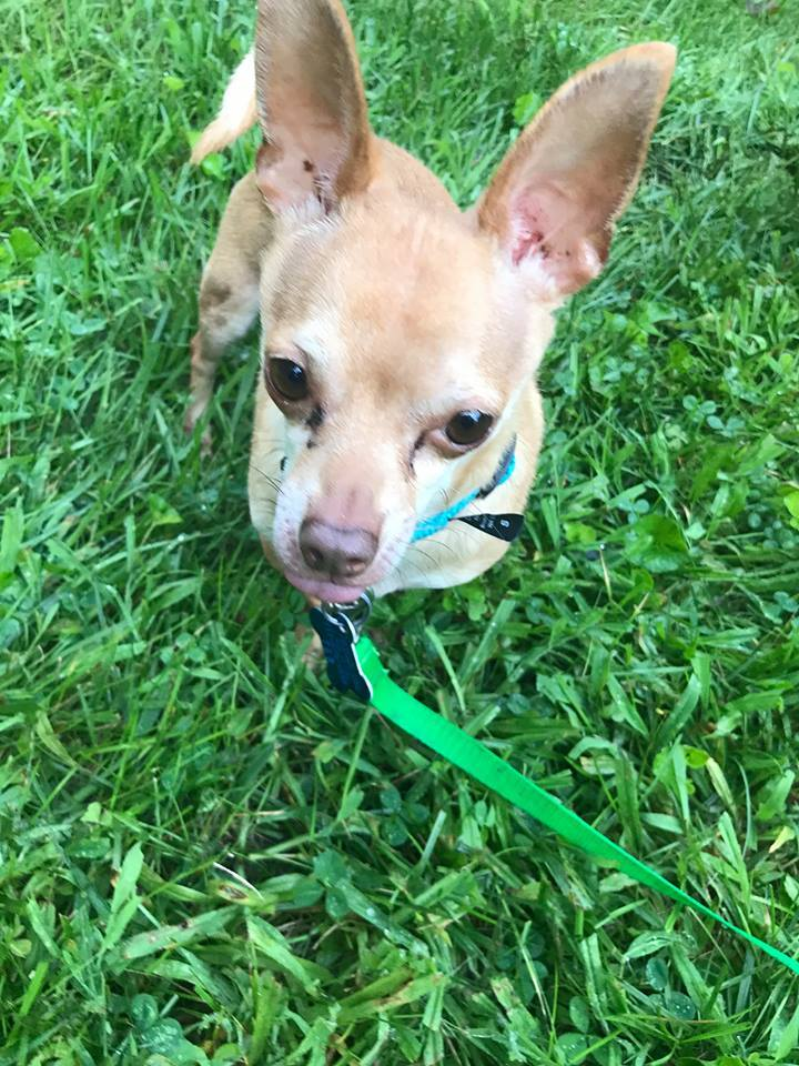 Gnat, an adoptable Chihuahua in Mount Gretna, PA