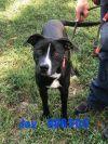 Labrador Retriever Dog: Jay