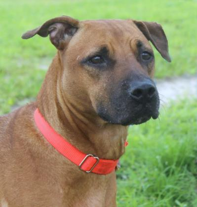 Bella, an adoptable Rhodesian Ridgeback & Boxer Mix in Loxahatchee, FL