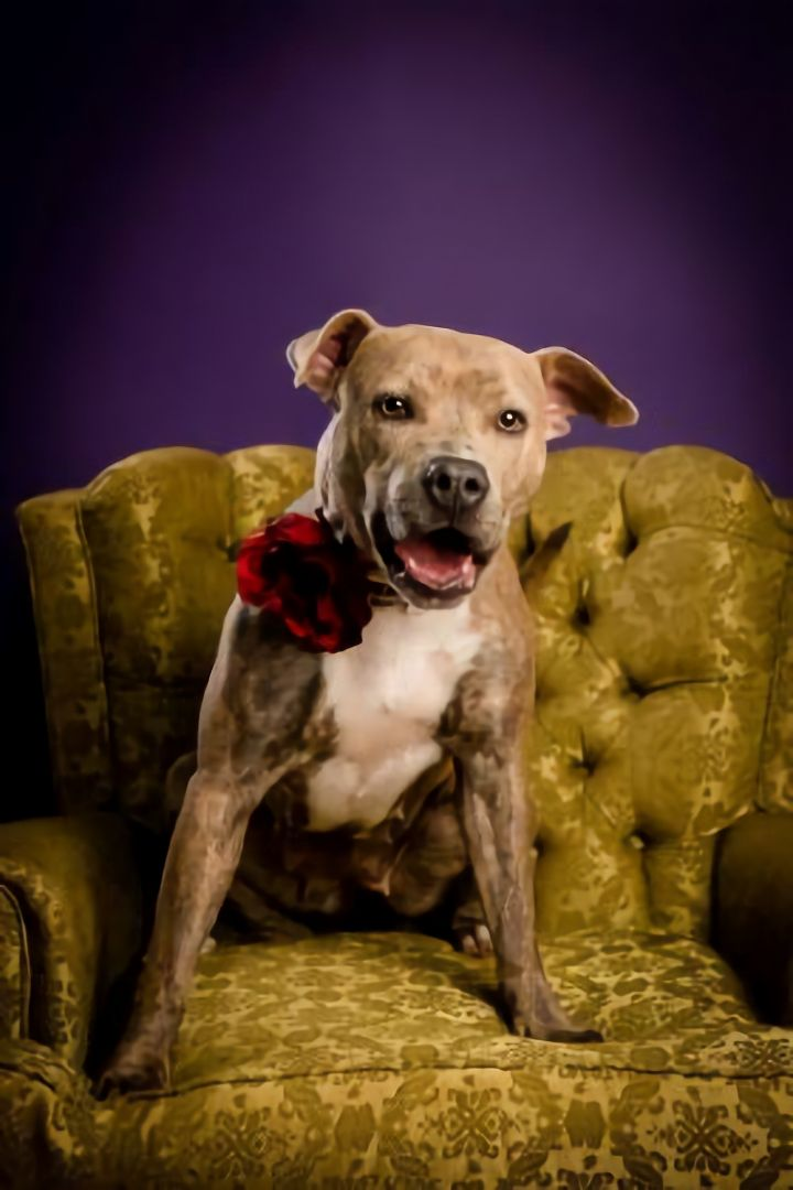 Blanche, an adopted Pit Bull Terrier Mix in Brunswick, GA