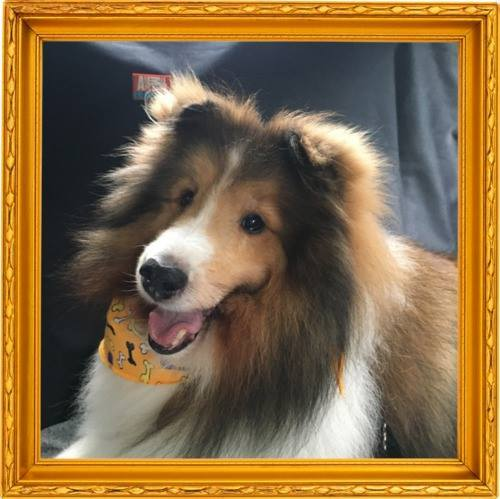 Ozzy, an adopted Shetland Sheepdog / Sheltie in Kentville, NS