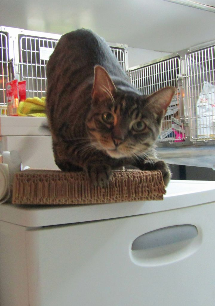 Benicio (Benny), an adoptable Tabby Mix in North Royalton, OH