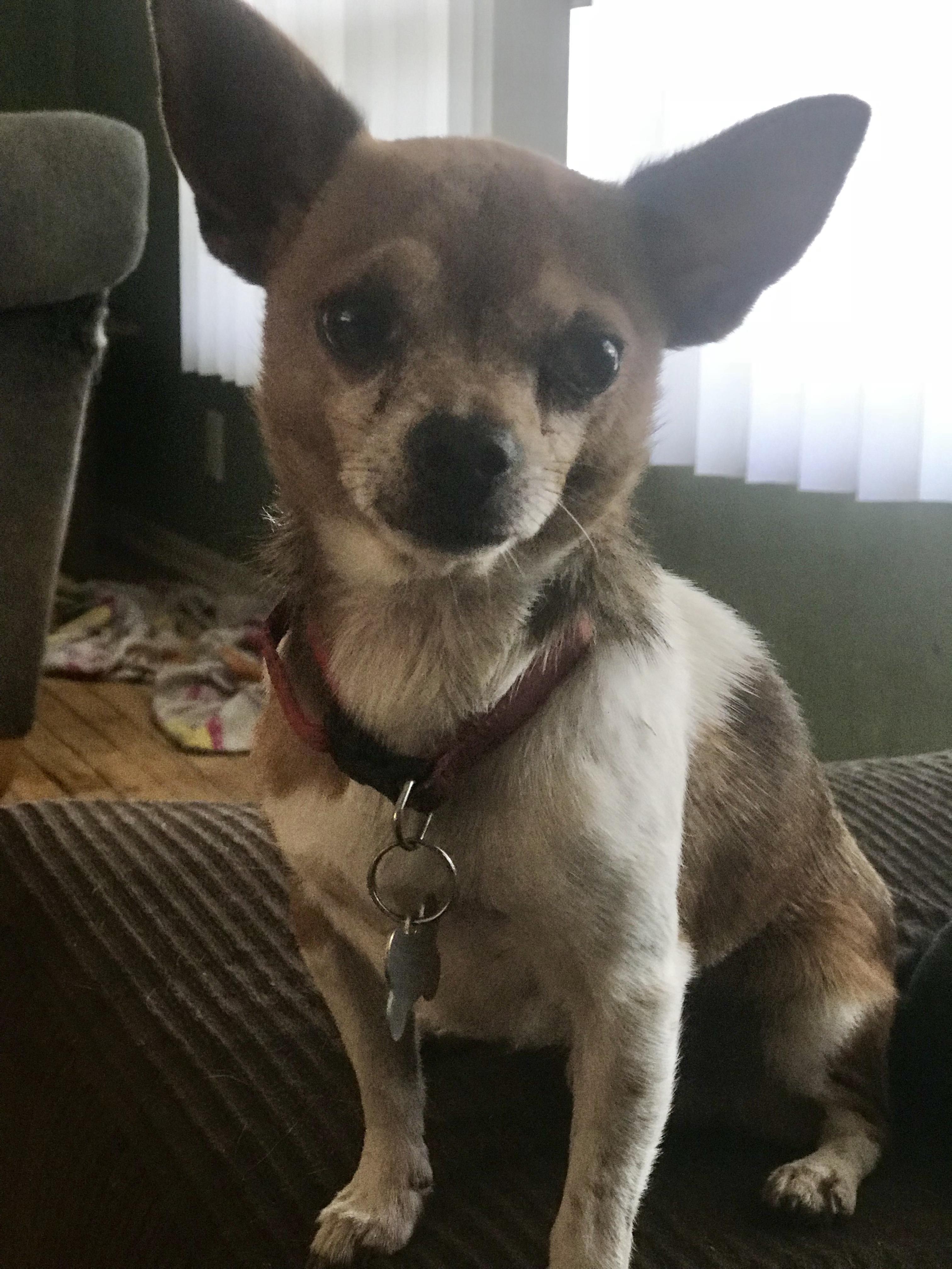 Dog For Adoption Papi 5lbs Near Redding Ca Petfinder