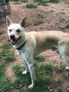 Canaan Dog Dog: Niko
