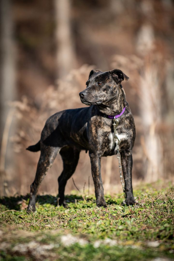 Justine - Long time resident :(, an adopted Mountain Cur in Stanton, KY