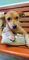 Labrador Retriever Dog: Giggles