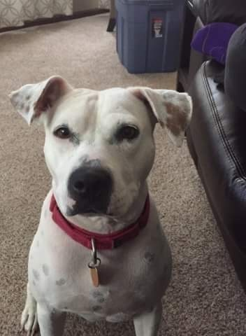 Dolly, an adopted American Staffordshire Terrier & Pit Bull Terrier Mix in Saint Paul, MN