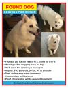 American Eskimo Dog Dog: FOUND ESKIMO DOG!