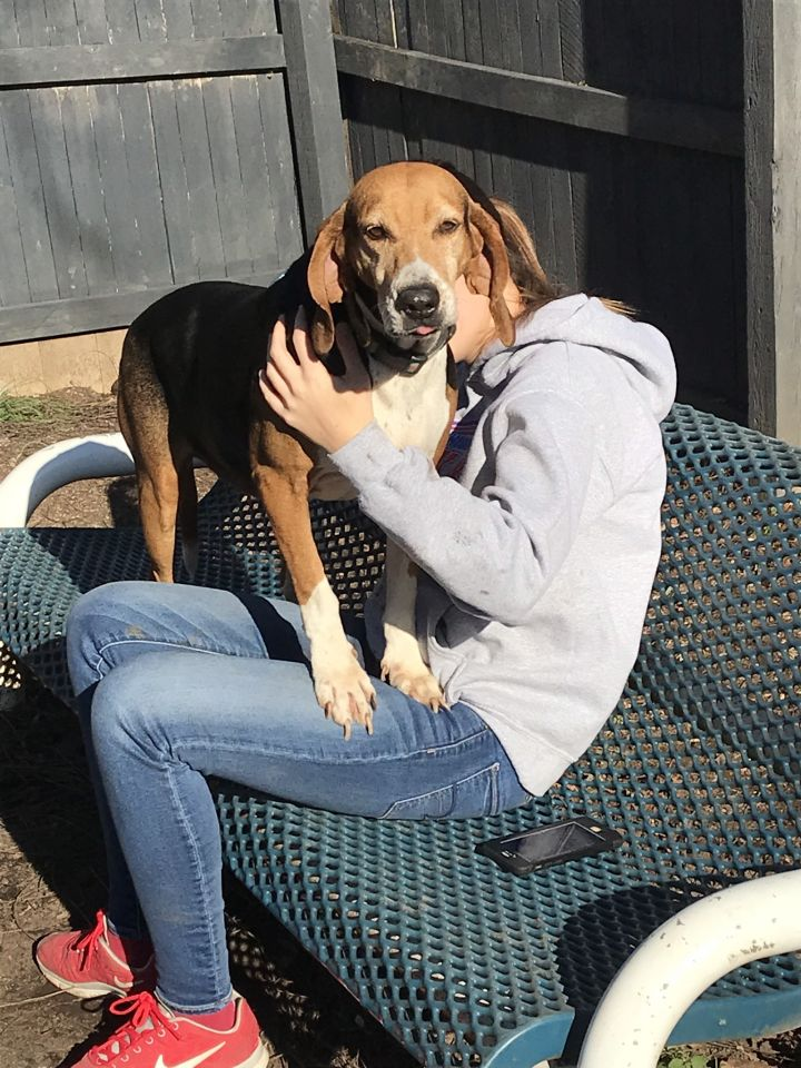 Sugar, an adoptable Beagle & Treeing Walker Coonhound Mix in Spencer, IN
