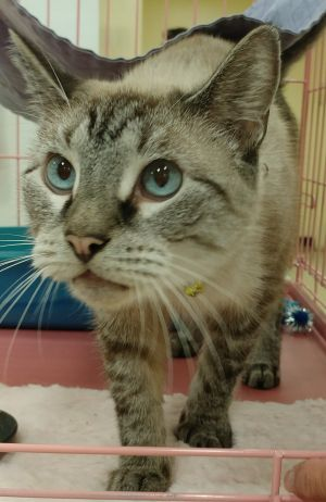 Sweet and living siamese lynx point About three years old per vet Needs loving forever home