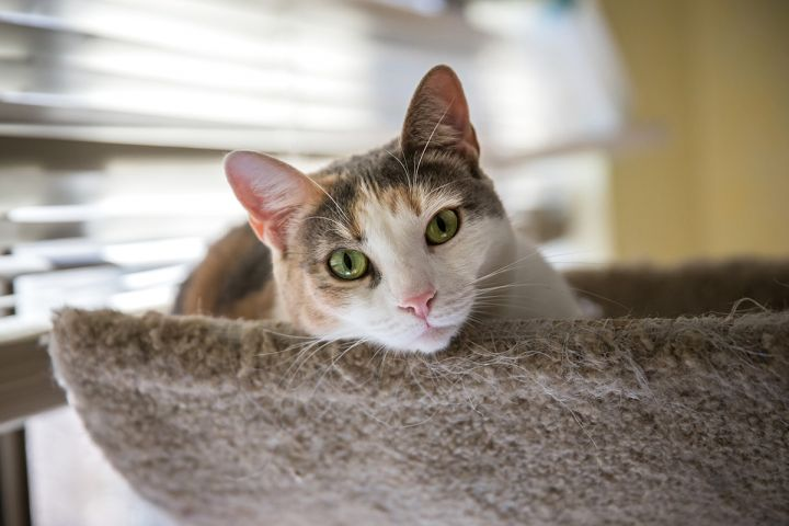 Matilda Merriweather, an adoptable Dilute Calico & Tabby Mix in Newtown, CT