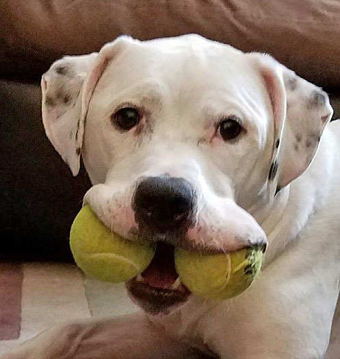 BARLEY, an adoptable American Bulldog & Staffordshire Bull Terrier Mix in New York, NY
