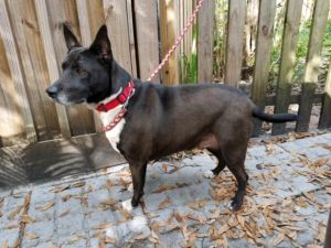Zoey is a very sweet girl Loves long walks going in car rides She loves other dogs too Shes a