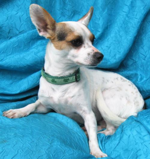 Dog for adoption - Sweet Pea Lily, a Jack Russell Terrier
