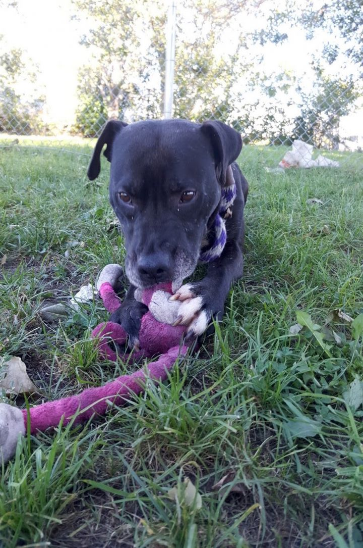 Fonzarelli, an adopted Pit Bull Terrier Mix in Chicago, IL