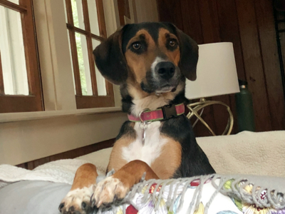 Junie, an adopted Beagle & Coonhound Mix in Athens, GA