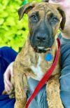 Labrador Retriever Dog: Todd