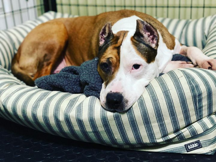 Pamela Beesly, an adoptable Pit Bull Terrier & American Staffordshire Terrier Mix in Plainfield, IL