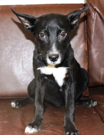 Gumbo, an adopted Chihuahua & Fox Terrier Mix in Reston, VA