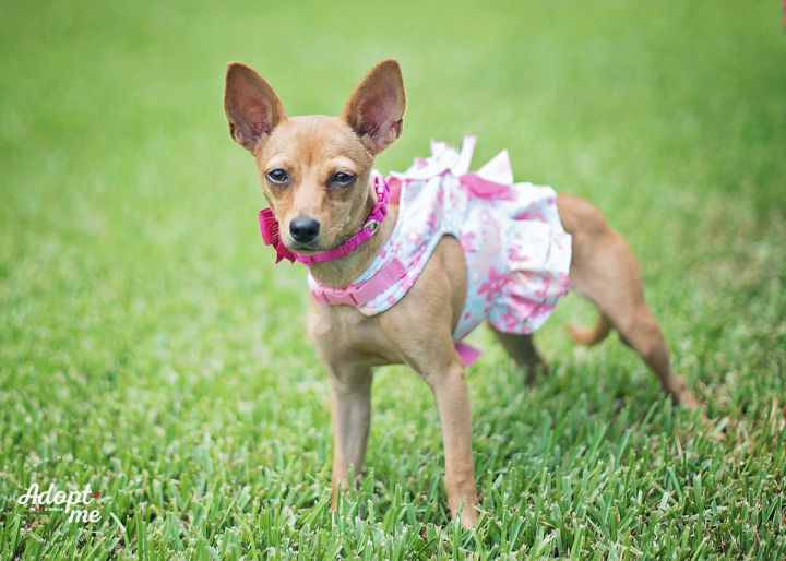 Nina, an adopted Chihuahua & Miniature Pinscher Mix in Kingwood, TX
