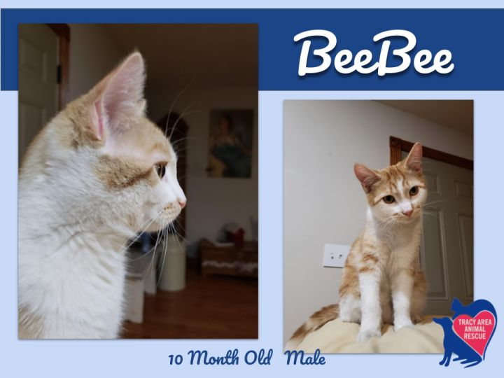 Beebee, an adopted Domestic Short Hair in Tracy, MN