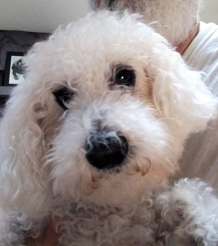 Tiger, an adoptable Poodle in Palm Harbor, FL