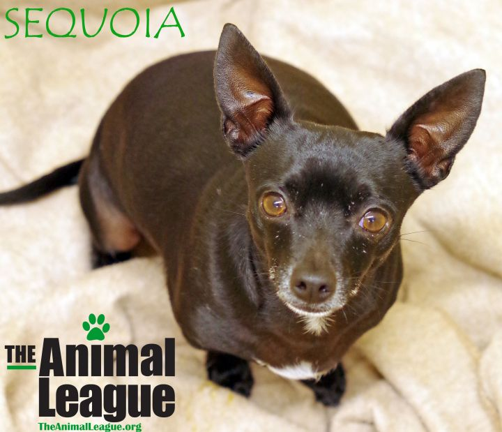 Sequoia, an adopted Chihuahua Mix in Clermont, FL