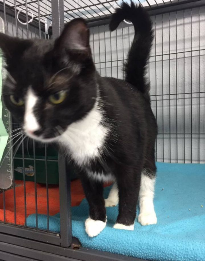 Addam, an adopted Domestic Short Hair in Frankfort, KY