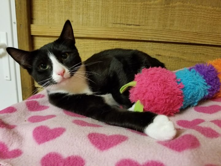 Pepe, an adopted Tuxedo & Domestic Short Hair Mix in Waxhaw, NC