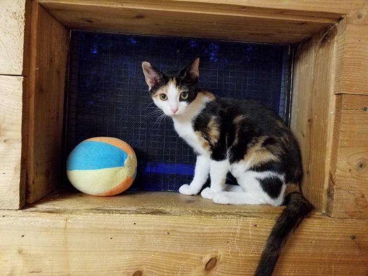 Penelope, an adopted Calico & Domestic Short Hair Mix in Waxhaw, NC