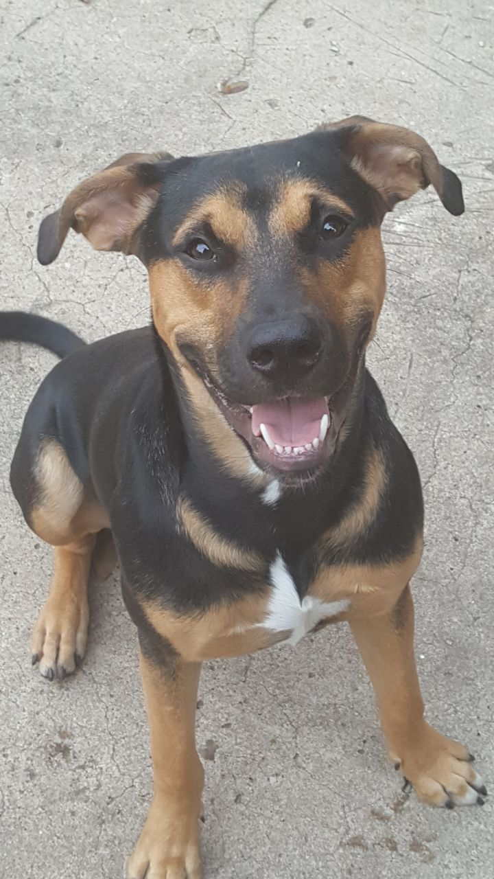 Jaxon Sterling, an adoptable Labrador Retriever & Rottweiler Mix in Savannah, GA