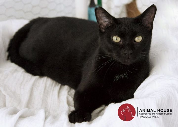 Whitney, an adoptable Domestic Short Hair in St. Louis, MO