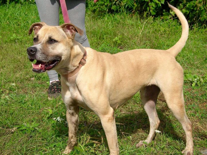 Luda, an adoptable Boxer & Pit Bull Terrier Mix in Utica, NY