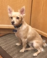 Tenny, an adopted Chihuahua & Terrier Mix in Calgary, AB