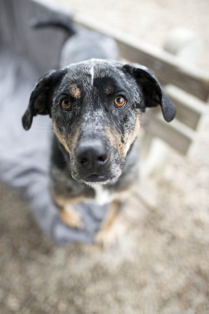 Aretha, an adoptable Catahoula Leopard Dog Mix in Cincinnati, OH