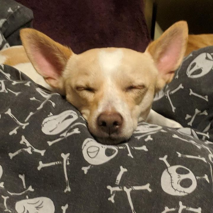 Wally, an adopted Chihuahua in Worcester, MA
