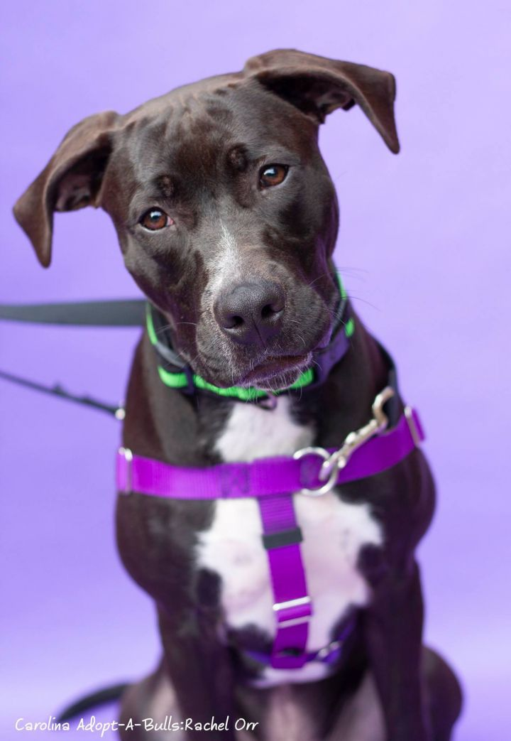Hercules, an adoptable Labrador Retriever & Pit Bull Terrier Mix in Durham, NC