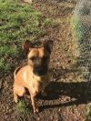 Belgian Shepherd / Tervuren Dog: Jackson