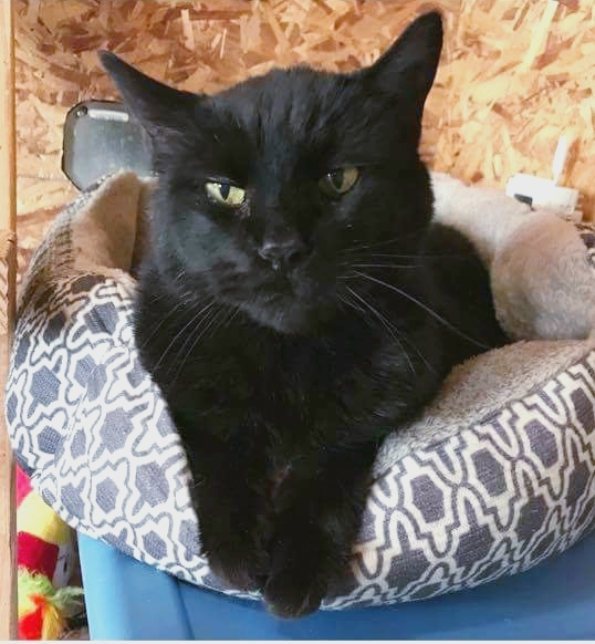 Shadow, an adoptable Domestic Short Hair in Vernal, UT