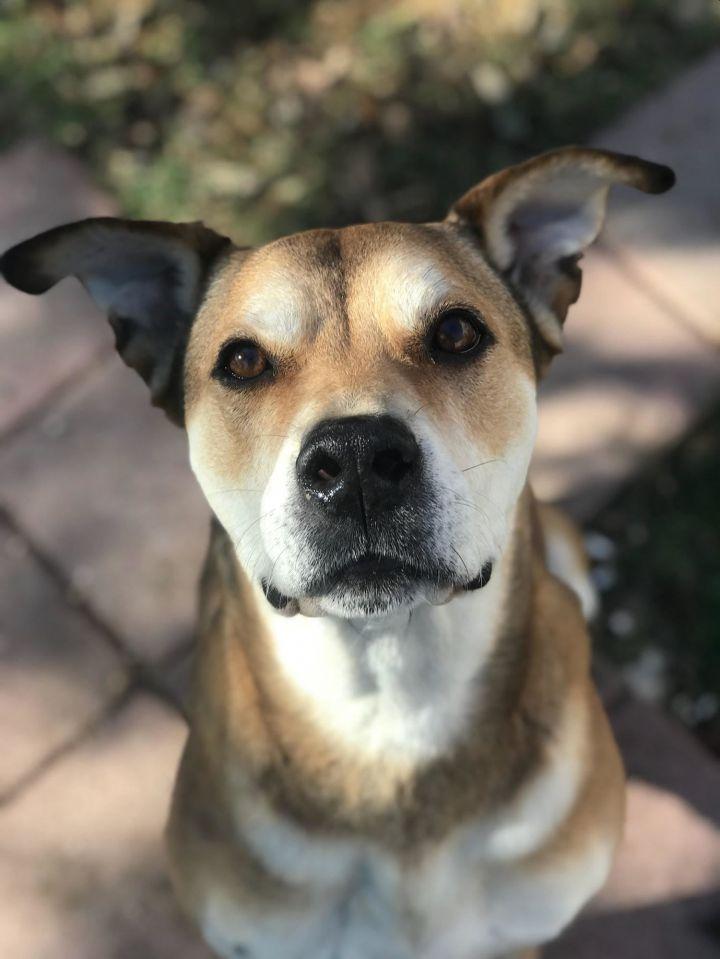 Dog for adoption - Elvis, a Hound & Husky Mix in San Antonio