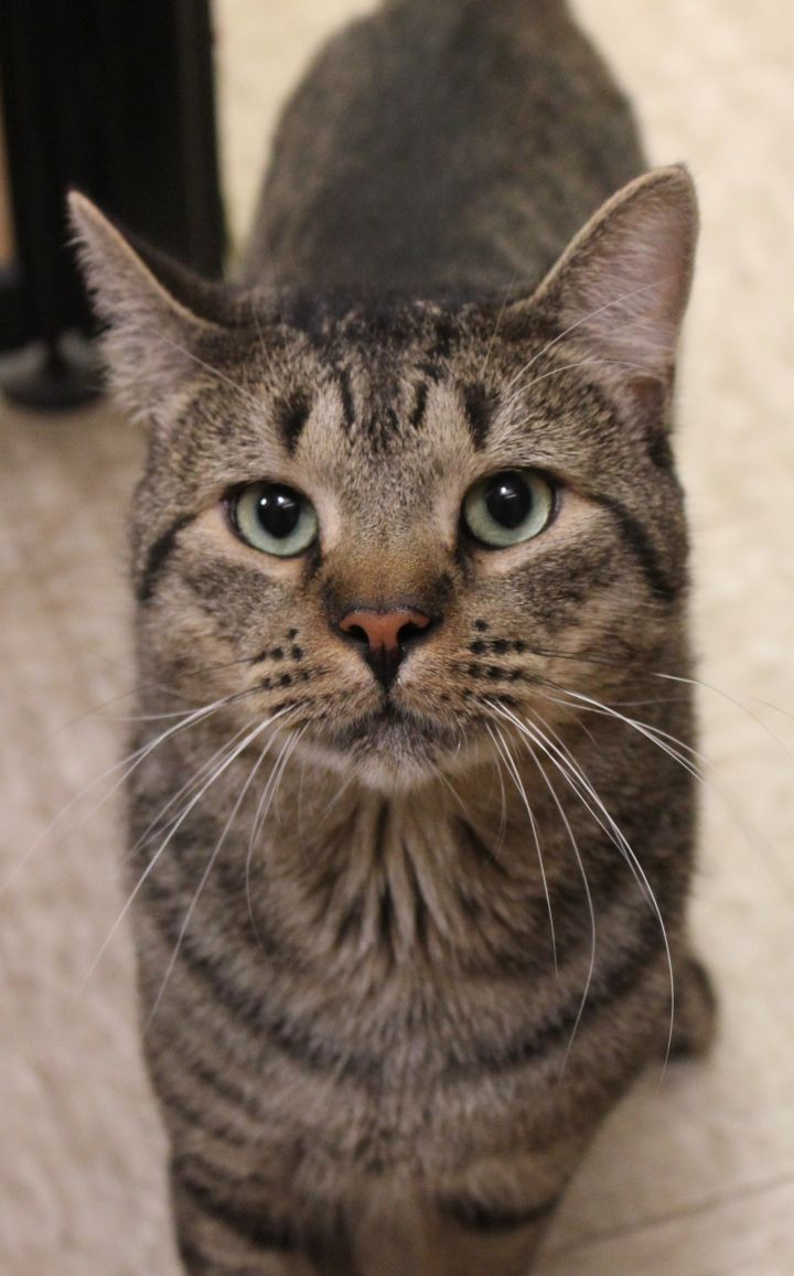 STYX, an adopted Domestic Short Hair in Sewell, NJ