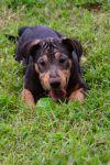 Doberman Pinscher Dog: Helix