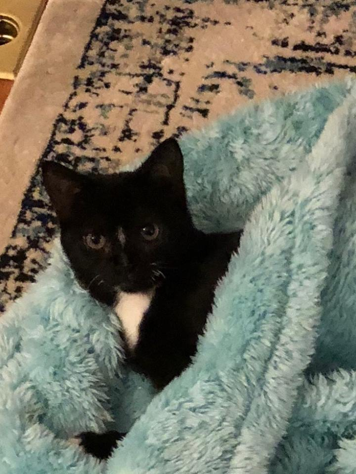 Sky, an adopted Domestic Short Hair in Rochester, NY