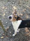 Beagle Dog: Vanna